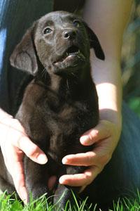 Labrador_Legolas_vom_Nollbachtal_Welpen_20130424_Ginger_D7_IMG_7747_klein