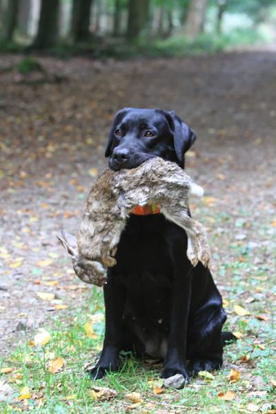 Labrador_Lotta_vom_Huelser_Bruch_BLP_2013_09_28_IMG_4232
