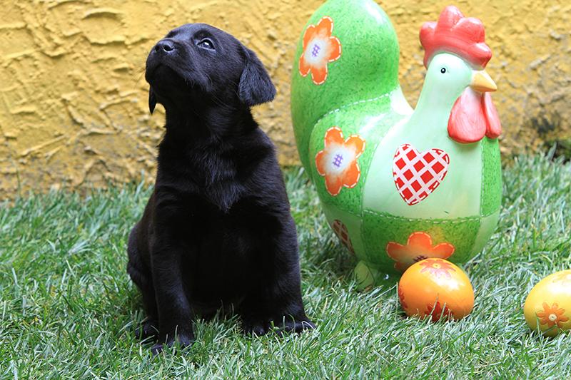 Labrador_DiAkaunon_Lotta_D7_IMG_8582_Bonnie
