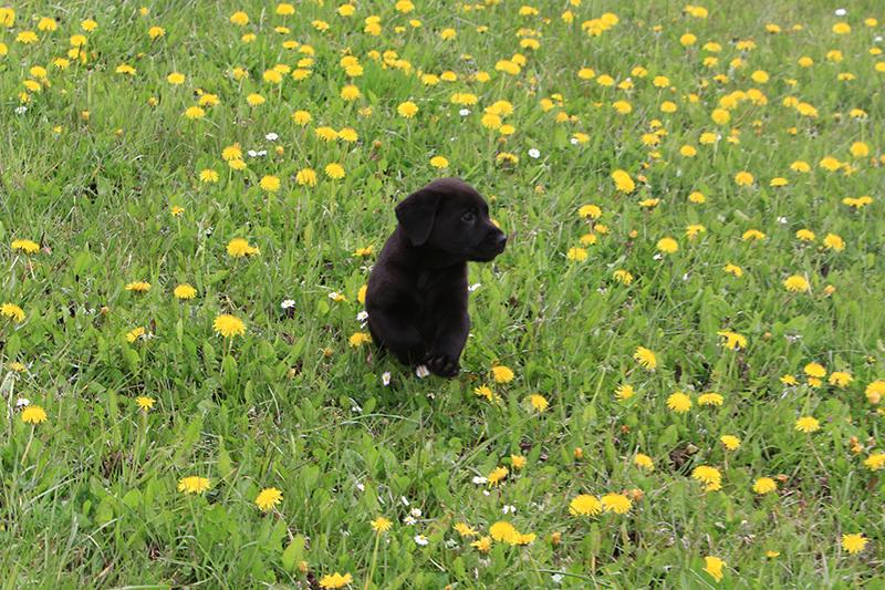 Labrador_DiAkaunon_Lotta_Beowulf_D7_IMG_9508