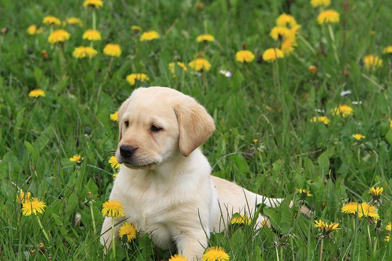 Labrador_DiAkaunon_Lotta_Blanche_D7_IMG_9598