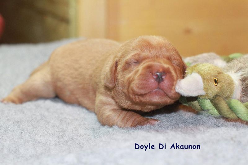 Labrador_DiAkaunon_Bonnie_D-Wurf_2020_März_Doyle_IMG3297