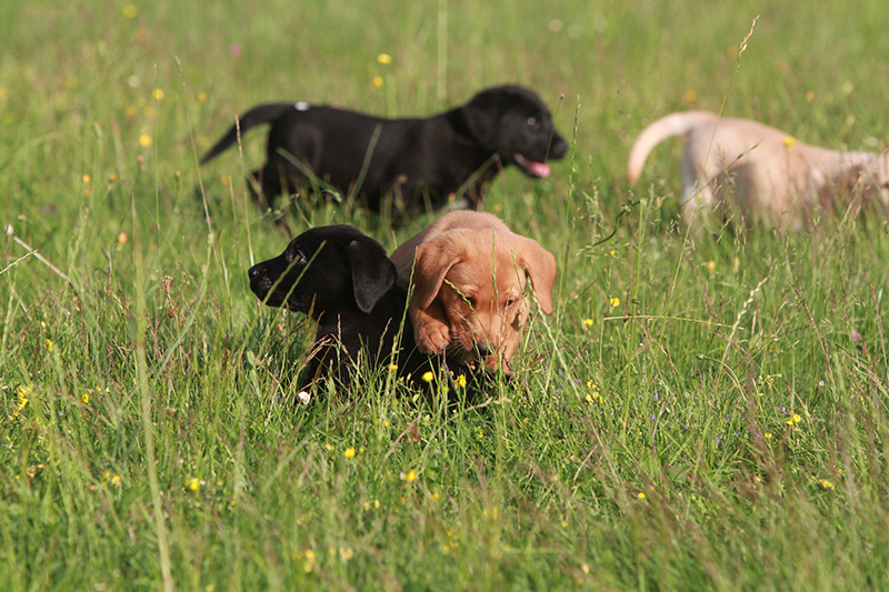 Labrador_DiAkaunon_Bonnie_E-Wurf_2021_Juni_IMG_9234
